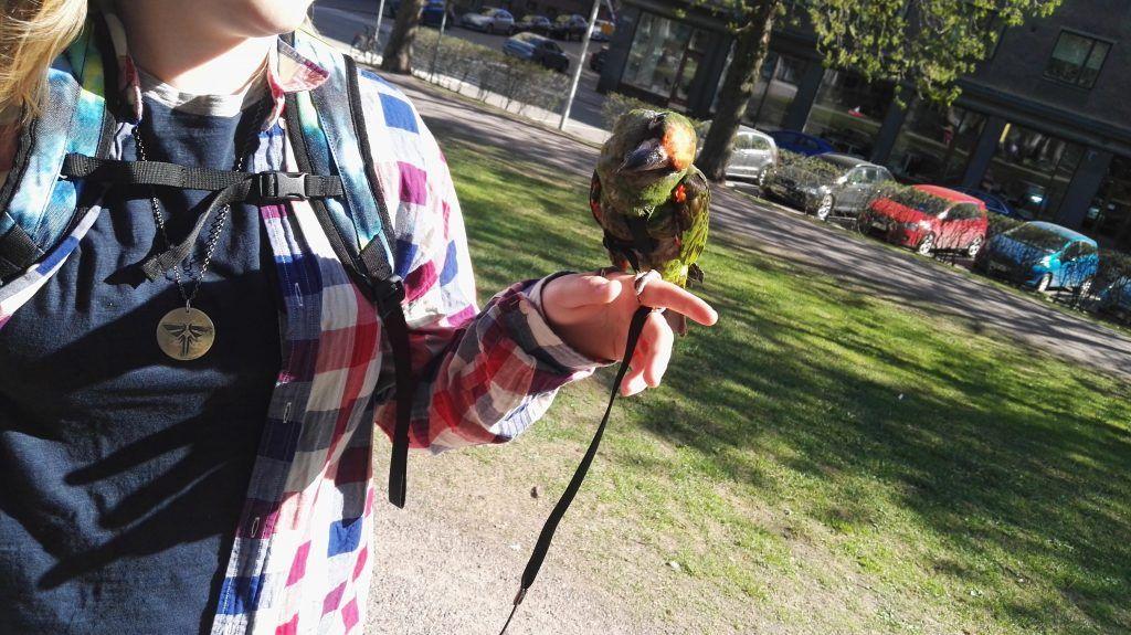 Täällä Helsingissä voi törmätä puistossa lenkkeleviin papukaijoihin